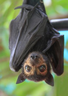 unusual animals | hanging bat