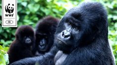 Today, there are no more than 880 mountain gorillas in the world. These are the closest living creatures to man after  chimpanzees and baboons! The destruction of their habitat and poaching means that their days are numbered if we don't act together now. For this reason WFF launched a fundraiser on Ulule.com to help rangers in their daily battle to protect gorillas. They funding goal was reached in just one day but you can still help them acheive even more! Follow this image link to contribute.