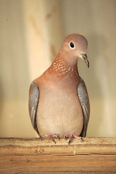 Coulombe Senegal dove I Love these little doves! Feral Pigeon, Africa Drawing, Africa Art, Kenya Africa, Pigeon Breeds, Africa Tattoos, Dove Hunting, Dove Pigeon, Mourning Dove