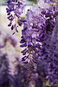 Wisteria Flowers Print By Power And Syred