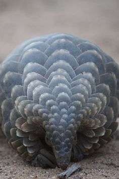 "Pangolins' scales are made of keratin, the same protein that makes up our own hair and nails, rhino horns, the ""teeth"" of baleen whales, and the claws of bears (and other clawed animals)."