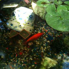 Goldie my fish