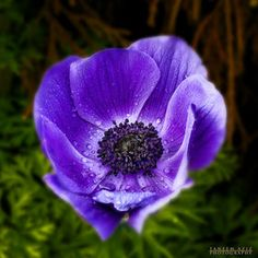 Love the vibrancy of this anemone!