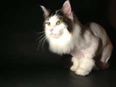 The Lion Cut ~ Modeled by Mikey ~ www.themainlion.com Grooming Salon, Cat Grooming, Cat Lion Cut, Shampoo, Cats, Animals, Style, Gatos, Animales