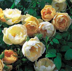Comtes de Champagne, David Austen rose