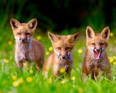 Red Fox Cubs by Ken Conger