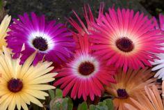 iceplant-ICE-PLANT-mesembryanthemum-LIVINGSTONE-DAISY-FLOWER-515-seeds-groco