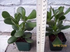 Jade Plant Tree Succulant Crassula argentea portulacea #JadeTree