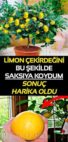 Canlı Dostlarımızı Unutmayın - Tuh Old Elcin Sangu, Fruit, Garden, Plants, Food, Lemon, Garten, Lawn And Garden, Essen