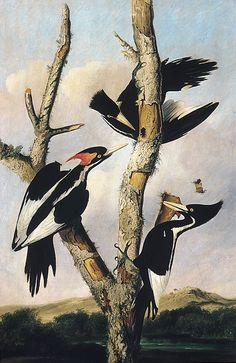 "Joseph Bartholomew Kidd - ""Ivory-billed Woodpeckers"" - 1830"
