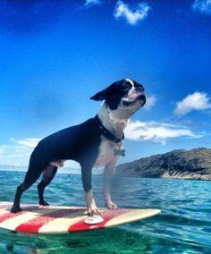 Boston terrier dog surfing