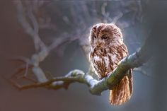 Free Image on Pixabay - Owl, Bird, Predator, Branch, Nature Free Pictures, Free Images, Dog Pictures, Fashion Girl Images, Strix Aluco, Law Of Attraction Quotes, Owl Bird, Sea Birds, Wild Birds