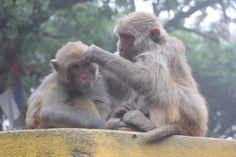 Darjeeling w West Bengal małpy