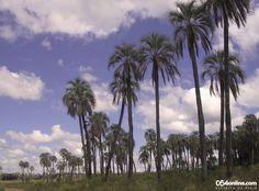 El refugio de la palmera yatay. El Parque Nacional El Palmar, en Entre Ríos. Un rincón de belleza y paz increíbles. Resguarda un ecosistema muy especial y con muchas opciones para recorrerlo y conocerlo en profundidad. Algo que sin duda vale la pena disfrutar.