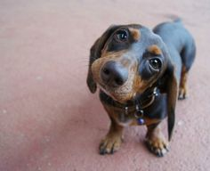 awww....love daschunds dachshund Dog Photography Puppy Hounds Chiens Puppies doxie