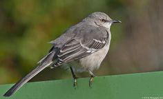 #33 Northern Mockingbird