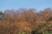 El aspecto del bosque cambia radicalmente en el período de sequía y los tonos ocres de los troncos, las ramas y el suelo desnudo predominan en el paisaje