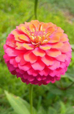 Multi-colored Zinnia--blooms in August. I love this color! Zinnia Garden, Cut Flower Garden, Blossom Garden, Blossom Flower, Annual Flowers, Cut Flowers, Dream Garden, Amazing Flowers, Garden Inspiration