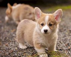 Find Pembroke Welsh Corgi Puppies in your area and helpful tips and info. All purebred Pembroke Welsh Corgi puppies are from AKC registered parents. Welsh Corgi Pembroke, Welsh Corgi Puppies, Cute Puppies, Cute Dogs, Dogs And Puppies, Teacup Puppies, Shepherd Puppies, Puppies Gif, Labradoodle Puppies
