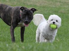 The Maltipoo and the vicious Pitbull who fears him - Imgur