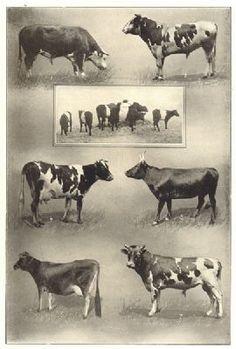 Holstein X Milking Devon | ... Hereford; Holstein; Dutch-belted claves; Guernsey; Devon; Jersey, 1907