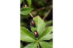 How to Stop the Japanese Beetle by Using Homemade Repellents | eHow