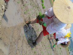 【御田植】平成24年5月26日、伝統的稲作行事『御田植』(主催・巴会)での、早乙女による田植の様子④です。