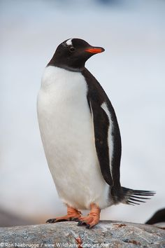 Gentoo Penguin by Ron Niebrugge