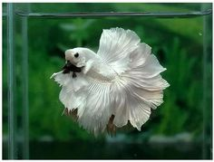Some interesting betta fish facts. Betta fish are small fresh water fish that are part of the Osphronemidae family. Betta fish come in about 65 species too! Betta Aquarium, Betta Fish Tank, Beautiful Chickens, Most Beautiful Birds, Beautiful Fish, Amazing Animals, Animals Beautiful, Colorful Fish, Tropical Fish