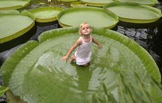 The Victoria water lily is native to the Amazon river basin and can hold up to 70 pounds of weight.