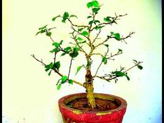 Hibiscus Bonsai - Wiring || pruning || update august 2016