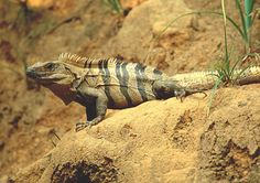 Central American Spiny Tail Iguana