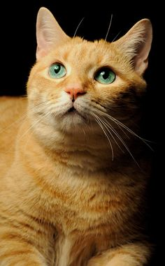 Orange Tabby by Diana Angstadt Kittens Cutest, Cats And Kittens, Ragdoll Kittens, Funny Kittens, Bengal Cats, Cats Meowing, Siamese Cats, Pretty Cats, Beautiful Cats