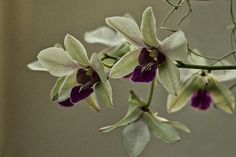 Photograph by Stuart Litoff.  Purple and pale green orchids at the U.S. Botanic Garden in Washington, DC
