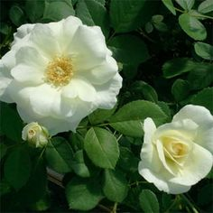 Prairie Snowdrift - Hardiness Zone: 3 Approximate Size: to tall by to wide Bloom Type: Medium Semi-Double Color: White Bloom Repeat: Good Fragrance: Moderate Landscaping With Roses, Heirloom Roses, Shrub Roses, One Rose, Hardy Plants, Climbing Roses, Lawn Care, The Great Outdoors, Shrubs