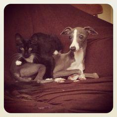 Silly Italian greyhound and his kitten best friend.