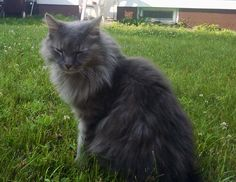 Our kitty, Nikko, has gone missing from Clinton. He's a grey Maine coon mix neutered male. Will you kindly contact me if somebody should bring him in? Thank you!