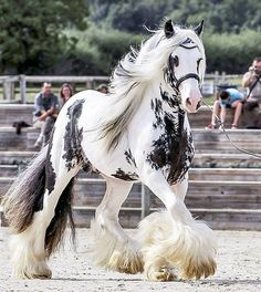 Gorgeous feathers at the hooves / fetlocks of  this black and white show horse! No wonder it's one of my MOST POPULAR RE-PINS! Reminds me of a huge version of a sweet Dalmation puppy - or similar to a brindle color markings Great Dane -#DdO:) - Find GORGEOUS HORSES AND MORE at https://www.pinterest.com/DianaDeeOsborne/gorgeous-horses-more/ - Beautiful and fun equine portraits plus donkeys, mules, colts and fillies. PHOTO CREDIT: þórhildurharpa on Flickr