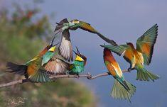 Battle scene by Peter Talos Bee Eater, Kinds Of Birds, Bird Feathers, Simply Beautiful, Bird Houses, Pet Birds, Wonders Of The World, Battle, Wildlife
