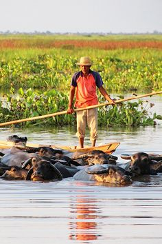 In the vast freshwater swamp off the Nagara River, South Kalimantan (Borneo), buffalo spend their days grazing on lush swamp grass before swimming up to 5km home to spend their evenings high and dry on manmade timber platforms called kalang. Find out more on http://www.roamindonesia.com/kalimantan-borneo/south-kalimantan/