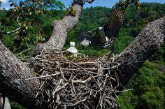 NG - A harpia constrói seus ninhos em árvores emergentes, com alturas entre 35 e 50 metros. Elas oferecem forquilhas com tamanho suficiente para sustentar estruturas que podem chegar a 3 metros de diâmetro. Carajás, Pará