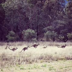 Look at these cuties jumping for joy ! #australia #kangaroo #kangaroos #downunder #australiagram #nature #naturegram #naturelover #animal #animals #instagood #instagram #igdaily #picoftheday #igtravel #explore #outdoors #australianlife #lp #instanature #travel #traveling #roadtrip #sydney #holiday #tourism #huntervalley #adventure #natureaddict #animallovers