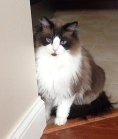 Our cat. He's so cute. Bicolor ragdoll.