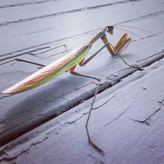 #prayingmantis by beanmeasley_
