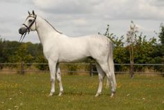 IS ORLOW OX 2003 Arabian stallion (Pamour x Orala, Santhos) approved for Trakehner, Hanoverian, Oldenburg