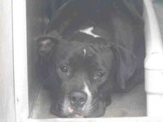 SHARE/PLEDGE/PIN/FOSTER/ADOPT  URGENT EUTH LISTED! http://www.youtube.com/watch?v=OqpZsIudTBM Pet ID: A1283919  Sex: M Age: 3 Years  Color: BLACK - WHITE  Breed: PIT BULL - MIX  Kennel: 216  OC Animal Care is located at 561 The City Drive South, Orange, CA. 714-935-6848. https://www.facebook.com/photo.php?fbid=10153397260920223&set=a.10152310078035223.929996.315830505222&type=1&theater