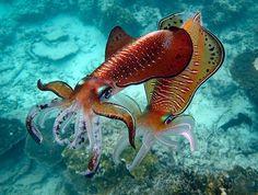 Cuttlefish by Iganacio Palacios