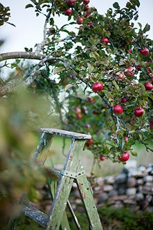 ♕ picking apples