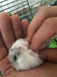 Tuc and his silly little foot getting a belly rub #aww #Cutehamsters #hamster #hamstersofpinterest #boopthesnoot #cuddle #fluffy #animals #aww #socute #derp #cute #bestfriend #itssofluffy #rodents