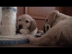 Peggy a Sammy - Golden Retriever Puppies 2 month old